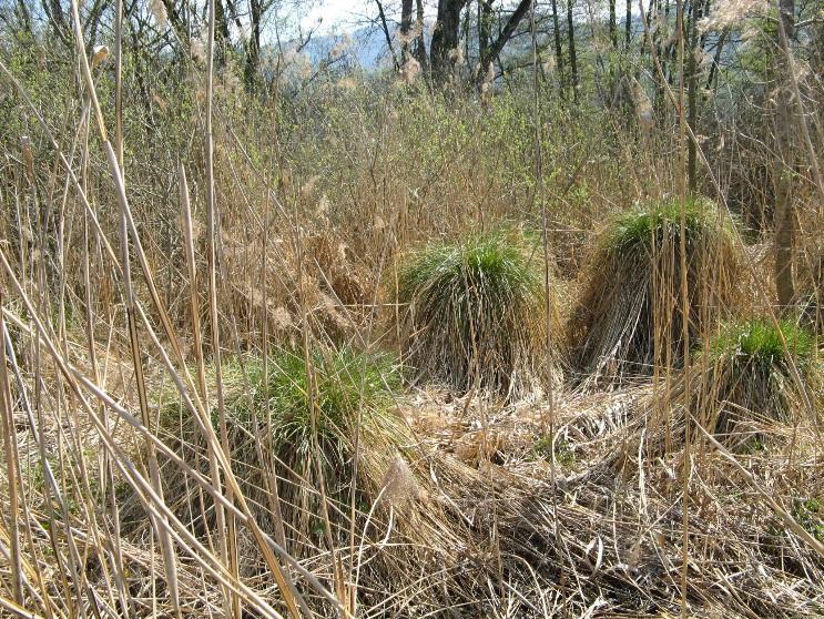 Marais de Maugny (Draillant) – touradons de choins
